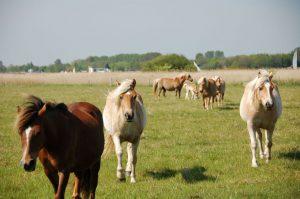 Pferde als lebende Rasenmäher