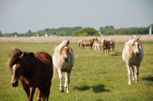 Horses as living lawnmowers