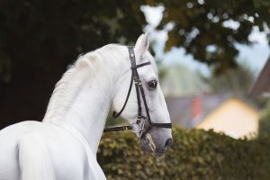 World's oldest Lipizzaner stallion