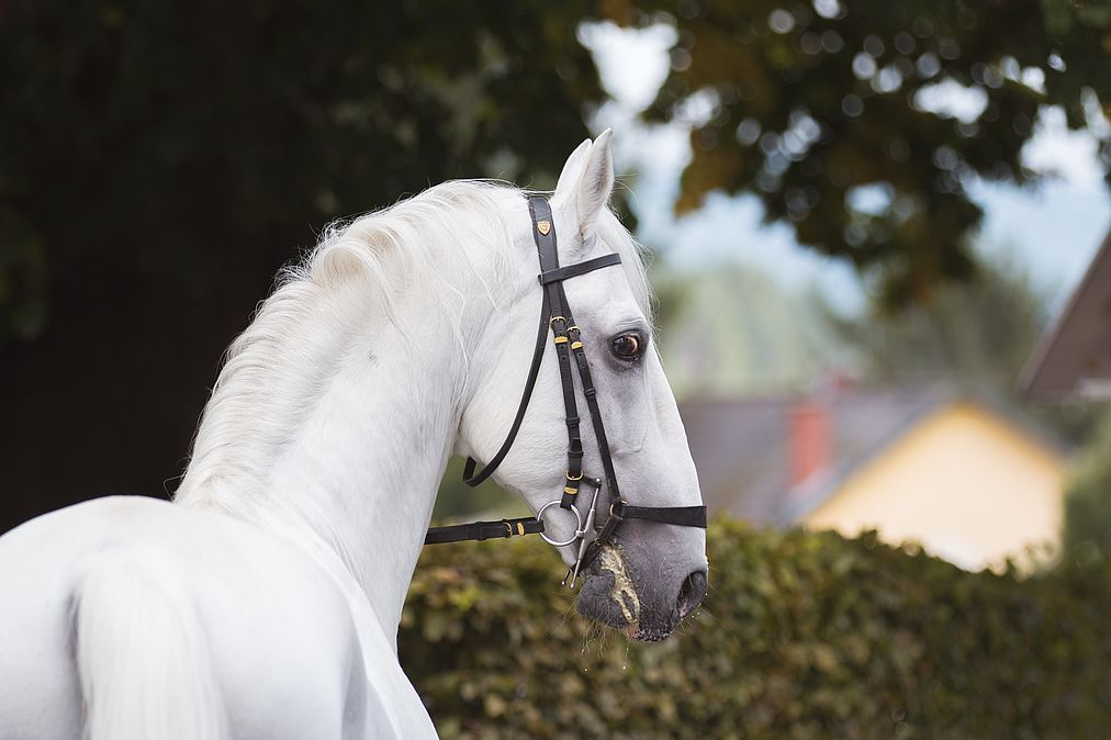 World's oldest Lipizzaner stallion