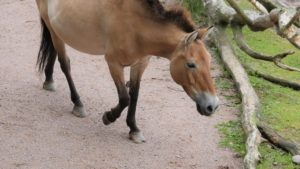 Przewalski Pferde: Lebende Urzeit-Pferde